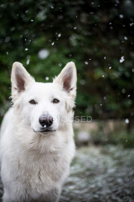 Close-up of cute White Shepherd dog standing on countryside yard during snowfall — Stock Photo