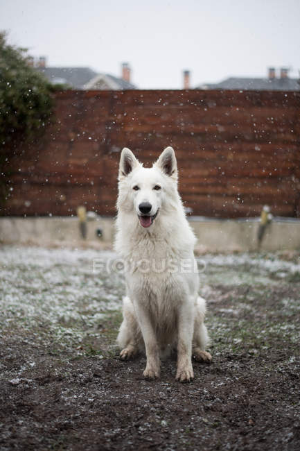 Carino cane pastore bianco seduto sul cortile di campagna durante la nevicata — Foto stock