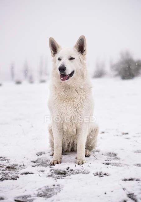 Cão de pastor branco sentado no quintal rural durante a queda de neve — Fotografia de Stock