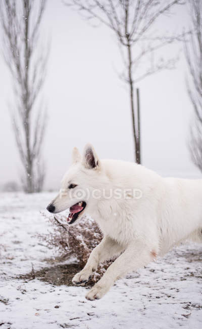 White Shepherd dog running in nature during snowfall — Stock Photo