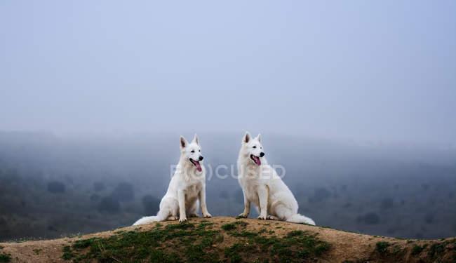 Белые швейцарские пастухи сидят на горе и смотрят в сторону — стоковое фото
