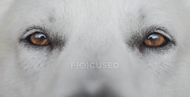 Close-up of brown eyes of cute White Swiss Shepherd — Stock Photo