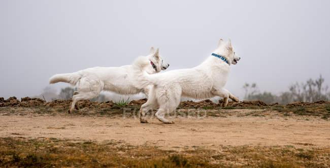 Due simpatici pastori svizzeri bianchi che corrono insieme lungo la strada di campagna nella natura — Foto stock