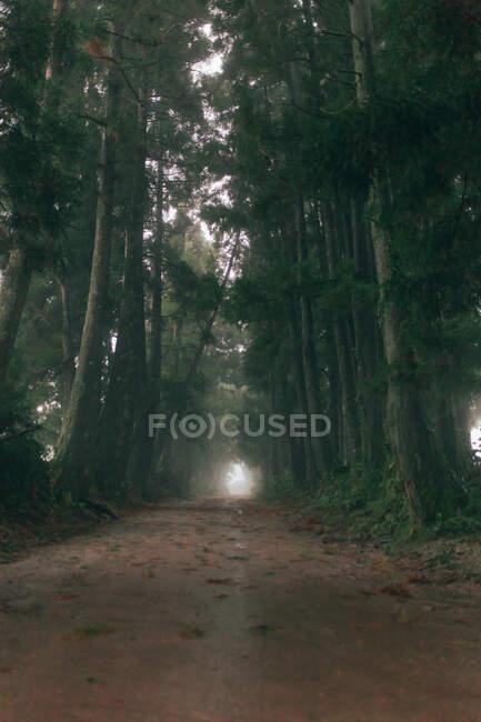 Chemin vide dans la forêt sombre entre de hauts arbres verts — Photo de stock