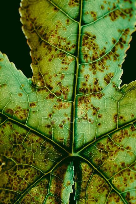 Текстура зелений лист із коричневий крапками — стокове фото