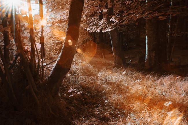 Деревья, растущие в солнечном лесу в инфракрасном цвете — стоковое фото