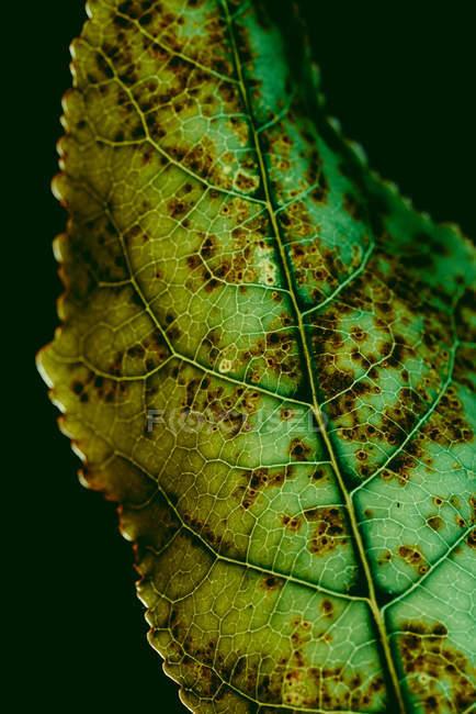 Текстура зеленого листа с коричневыми точками — стоковое фото