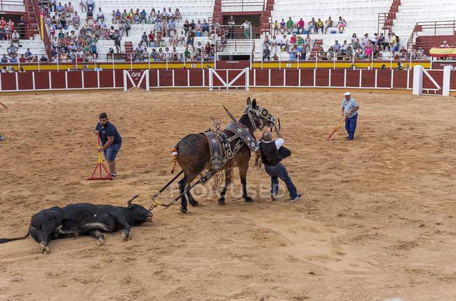 España, Tomelloso - 28. 08. 2018. Vista de los trabajadores organización de arena en el campo de arena y hombre con Toro Muerto con caballo - foto de stock