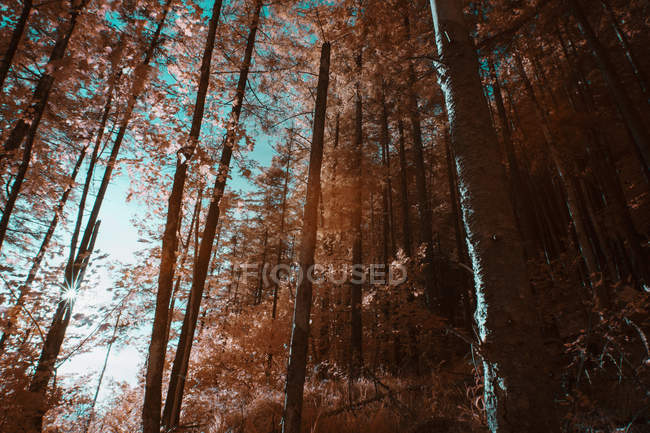 Tall trees growing in sunny forest against sky on sunny day in infrared color — Stock Photo