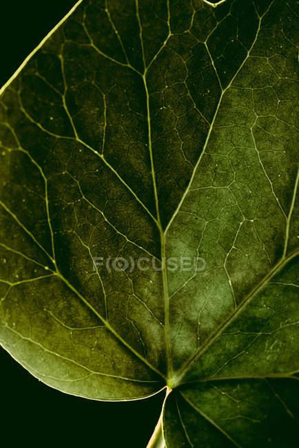 Макропредставление текстуры зеленого листа с венами — стоковое фото