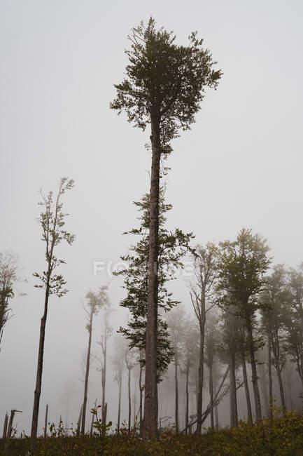Снизу снимок удивительных высоких деревьев, растущих в красивом лесу в туманный день в Болгарии, на Балканах — стоковое фото