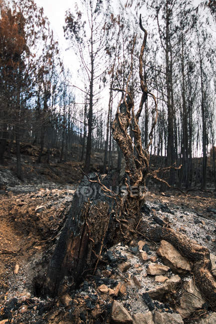 Burned tree trunk in fire damaged forest — Stock Photo