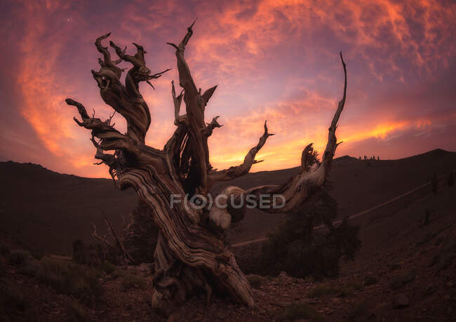 Bright sunset sky over wonderful dead tree in magnificent countryside on West Coast of the USA — Stock Photo