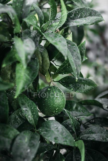 Gros plan d'une petite orange verte recouverte de gouttes d'eau qui poussent sur un arbre vert dans le jardin — Photo de stock