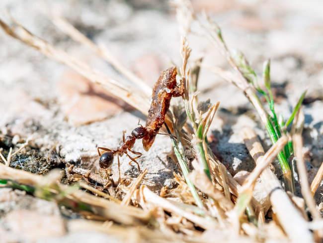 Gros plan de petites fourmis transportant des objets lourds dans la nature — Photo de stock