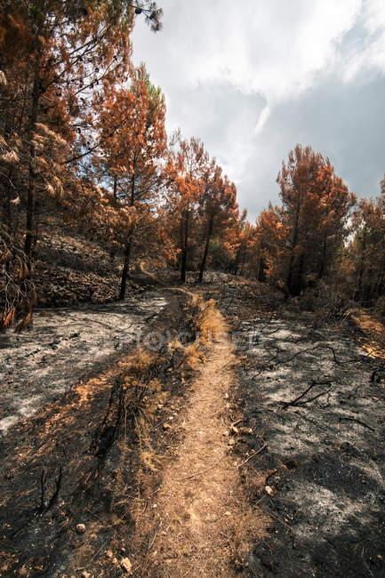 Шлях серед спалили дерев у лісова пожежа у лісі — стокове фото