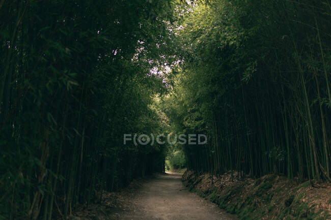 Narrow forest path with green high trees with lush foliage — Stock Photo