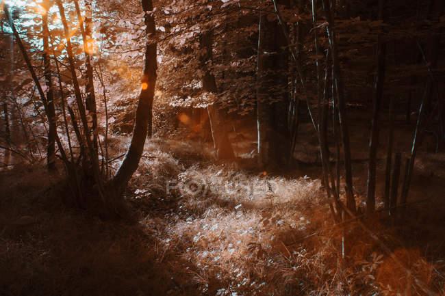 Дерев, що виростають в лісі, Сонячний інфрачервоний кольору — стокове фото