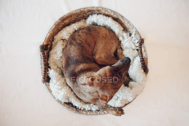 Adorable little brown puppy sleeping in cozy wicker basket on white background — Stock Photo