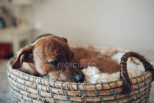 Adorable little brown puppy in cozy wicker basket — Stock Photo