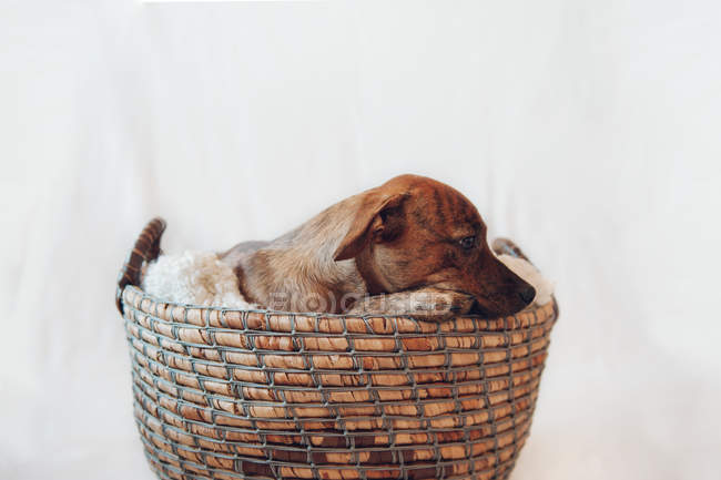Adorable little brown puppy in cozy wicker basket on white background — Stock Photo