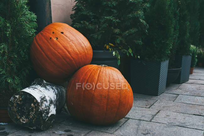 Decorated street with two giant pumpkins on ground surrounded by pine trees — Stock Photo