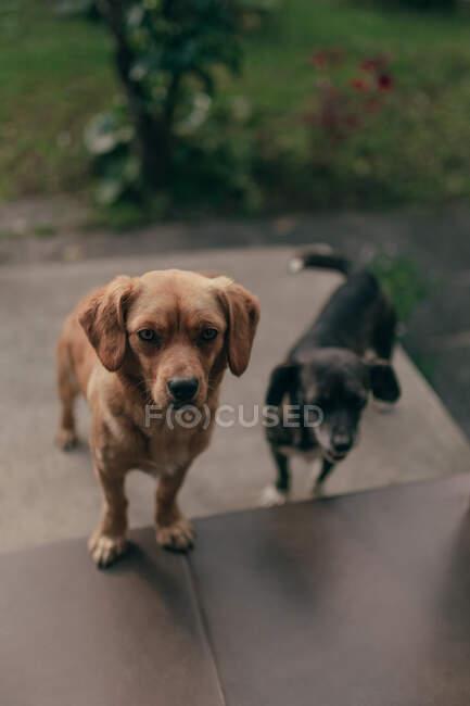Due piccoli cani in piedi sulle scale su sfondo sfocato di giardino coperto di erba verde — Foto stock