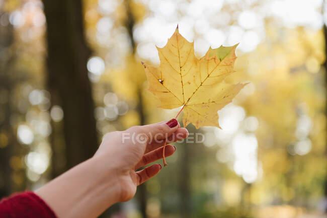 Schnittansicht der Damenhand mit gelbem Ahornblatt im Herbstwald an sonnigen Tagen — Stockfoto