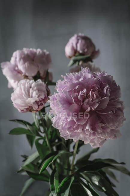 Bündel frischer rosa Pfingstrosen auf grauem Hintergrund — Stockfoto