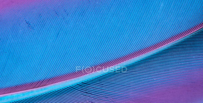 Texture of bird feather on bright violet background — Stock Photo