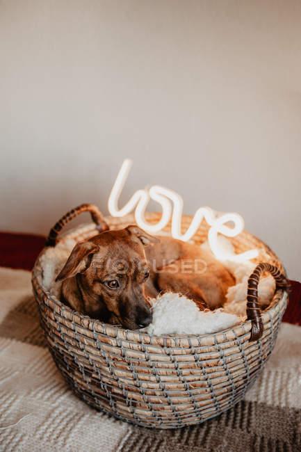 Чарівні коричневий собака лежить на плед в кошик з світяться лампу з слово любов — стокове фото