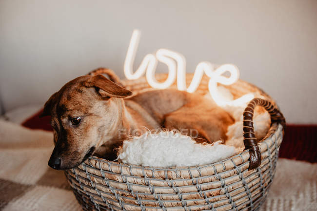 Adorable brown dog lying on plaid in basket with glowing lamp with word Love — Stock Photo