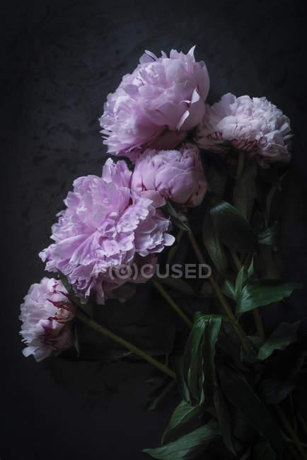 Bündel frischer rosa Pfingstrosen auf dunklem Hintergrund — Stockfoto