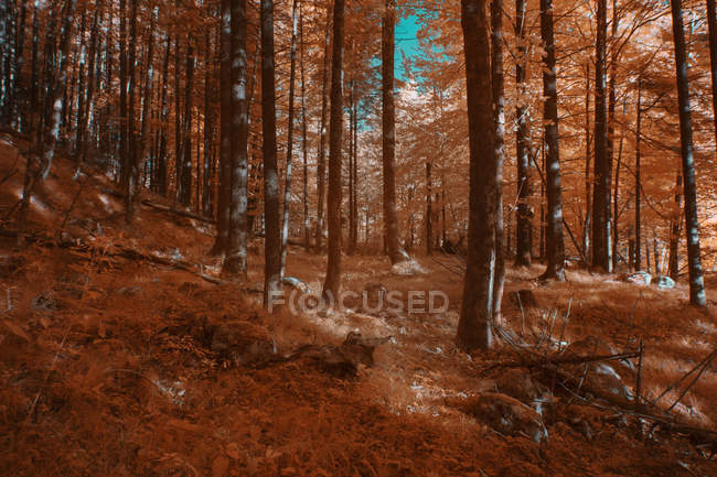 Trees growing in sunny forest in infrared color — Stock Photo