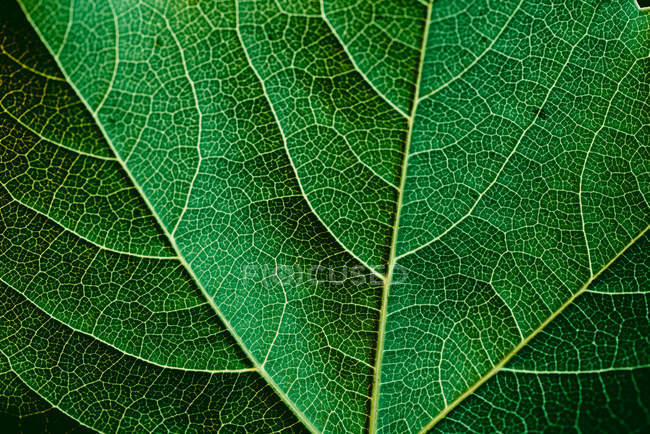 Macro view of green leaf texture with veins — Stock Photo