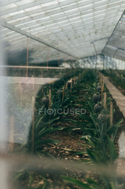 Many pineapple shrubs growing in lines under roof of greenhouse — Stock Photo