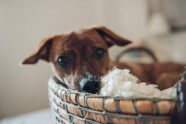 Close-up of cute little brown puppy in cozy wicker basket on blurred background — Stock Photo