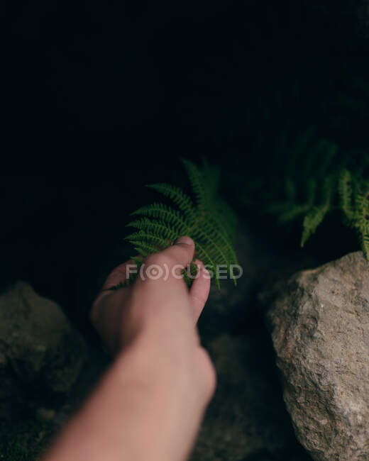 Crop from above view of hand of person touching green leaf of plant growing among stones — Stock Photo