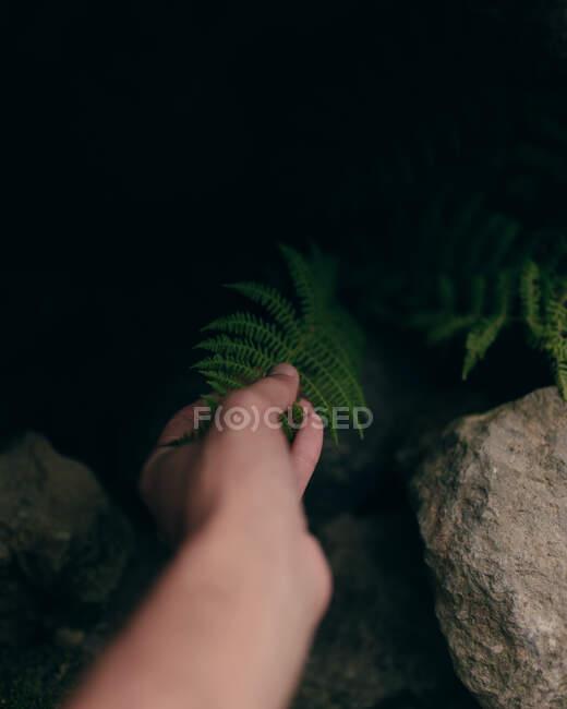 Ernte von oben Ansicht der Hand der Person, die grünes Blatt der Pflanze berührt, die zwischen Steinen wächst — Stockfoto