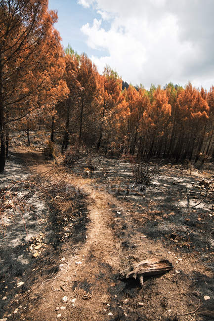 Path among burned trees in wildfire in forest — Stock Photo