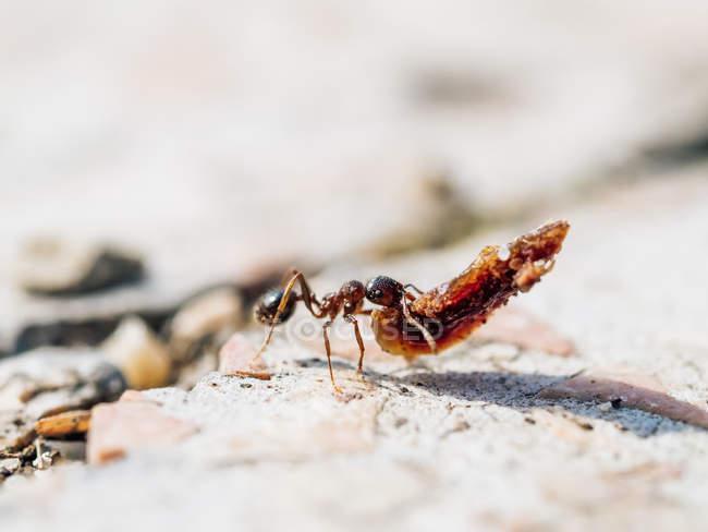 Gros plan de petites fourmis portant des objets lourds dans la nature — Photo de stock