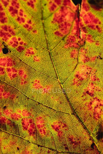 Makroansicht des strukturierten Herbstblattes — Stockfoto