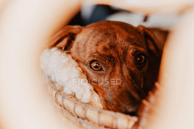 Closeup of charming brown puppy cuddling in cozy blanket — Stock Photo