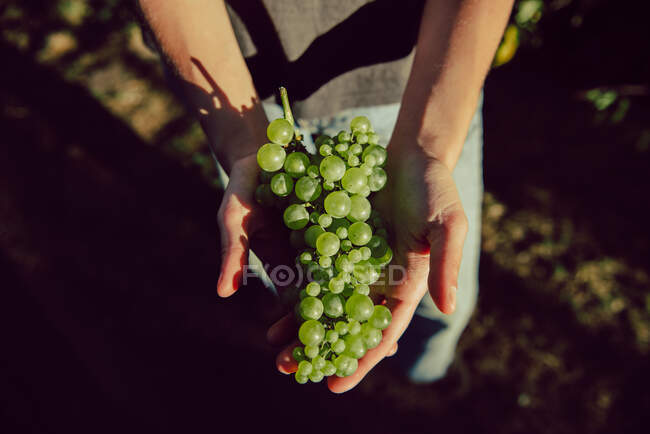Crop shot from above of person holding bunch of green ripe grape in sunlight — Stock Photo