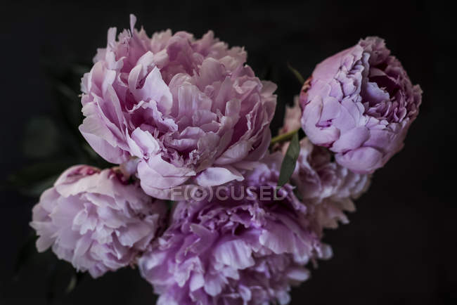 Bunch of fresh pink peonies on dark background — Stock Photo