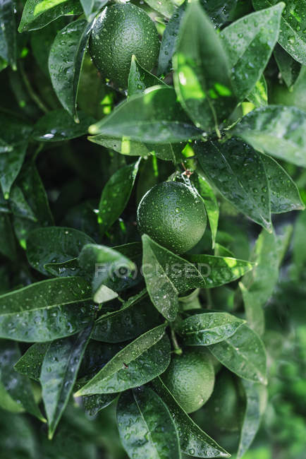 Closeup of small green oranges covered with drops of water growing on green tree in garden — Stock Photo