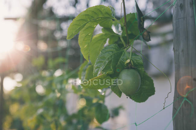 Fresh Green Tomato growing on branch with leaves in sunny day on blurred background — Stock Photo