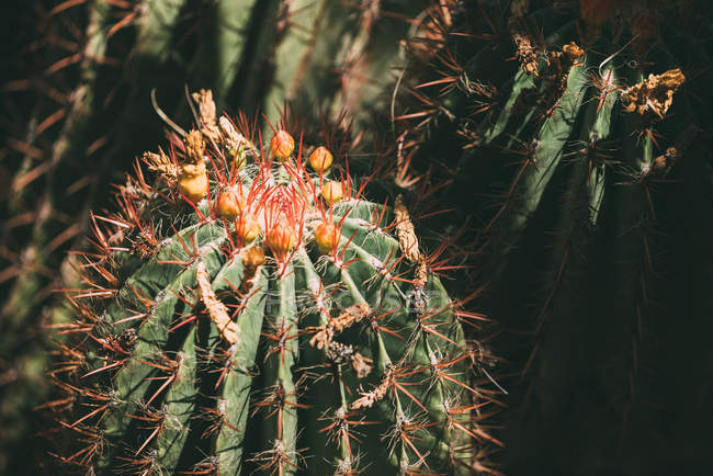 Close-up of cactus plants with flowers buds — Stock Photo