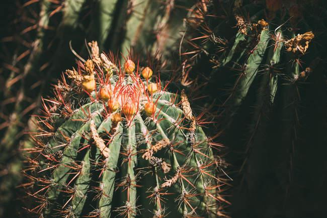 Закрытие кактусовых растений цветочными почками — стоковое фото