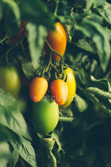 Ripe and unripe tomatoes growing on branches in garden — Stock Photo